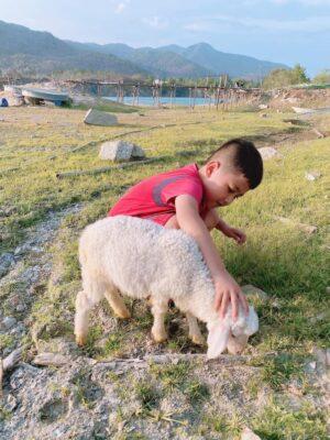 đàn cừu ở Hồ Đá Xanh dễ thương và cực kỳ thân thiện với mọi người