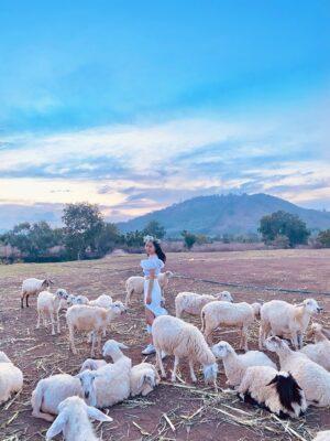 Phong cảnh yên bình bên những em cừu vô cùng dễ thương tại Đồi Cừu Suối Nghệ